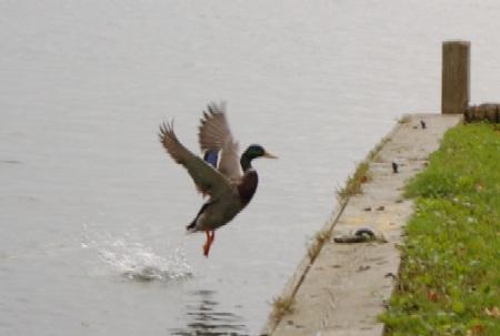 ducks5.jpg
